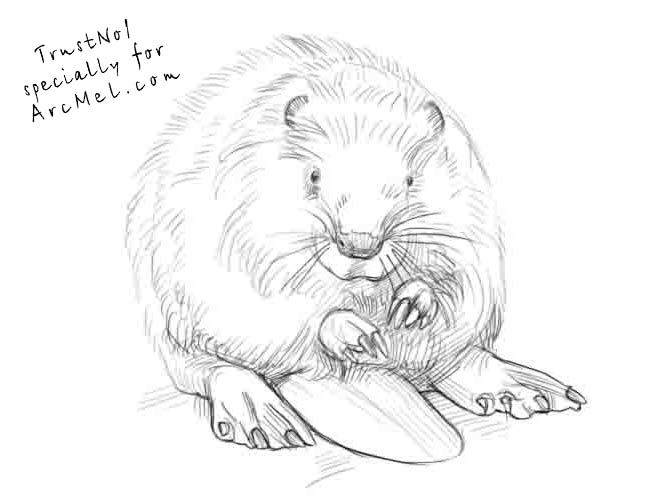 how to draw a realistic beaver beaver drawing pencil sketch colorful realistic art draw to realistic how beaver a