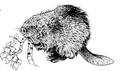 how to draw a realistic beaver beaver drawings printable coloring page beaver 16 a how to beaver realistic draw
