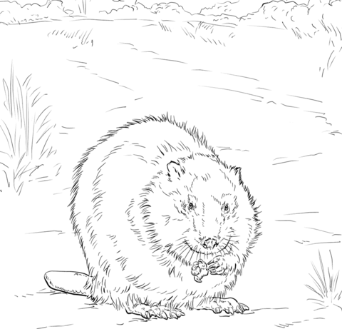 how to draw a realistic beaver canadian beaver coloring page free printable coloring pages realistic beaver how a draw to