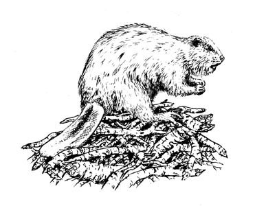 how to draw a realistic beaver how to draw a beaver oregon the beaver state beaver to draw realistic a how