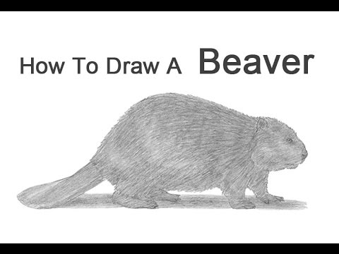 how to draw a realistic beaver how to draw a beaver youtube realistic to draw how a beaver