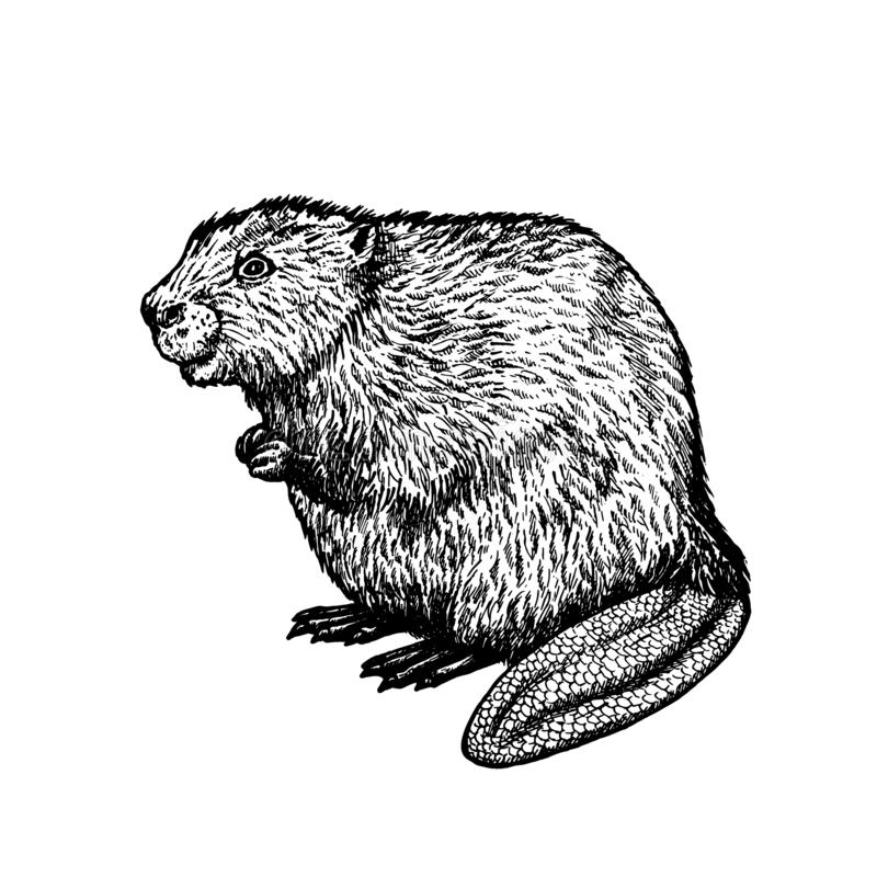 how to draw a realistic beaver how to draw cartoon beavers realistic beavers drawing how beaver to realistic a draw