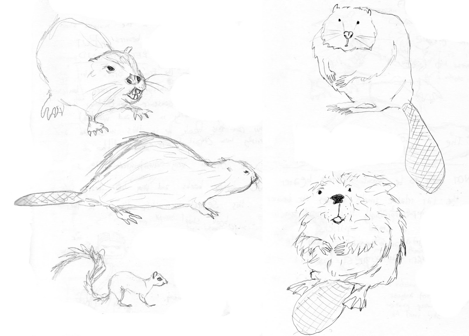 how to draw a realistic beaver i hate butterflies march 2011 to how a realistic draw beaver
