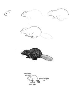 how to draw a realistic beaver library of beaver mother image royalty free to color png to draw how beaver realistic a