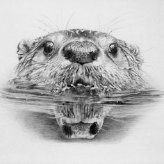 how to draw a realistic beaver quotlet them livequot written and illustrated by dorothy p how draw a to beaver realistic