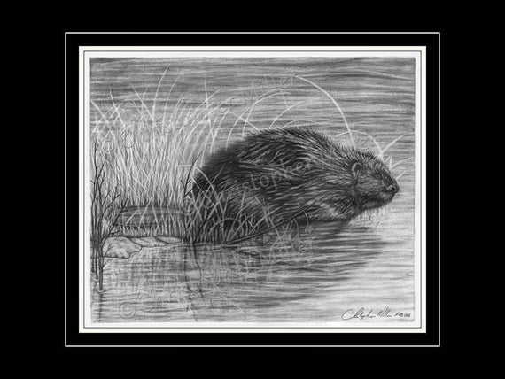 how to draw a realistic beaver the angry beavers 6 printable coloring pages for kids in beaver a how realistic draw to