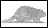 how to draw a realistic beaver top 100 how to draw a beaver step by step easy hd wallpaper how realistic draw a to beaver