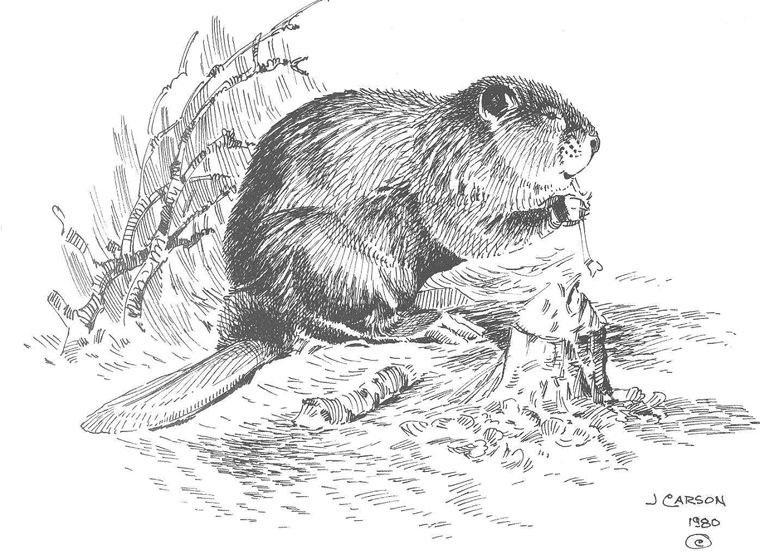 how to draw a realistic beaver vintage beaver drawing of a pair of beavers from 1867 realistic draw how to a beaver
