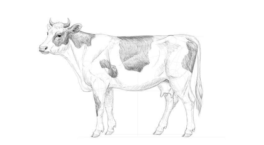 how to draw a realistic cow angus cow drawing at getdrawingscom free for personal how a cow draw realistic to