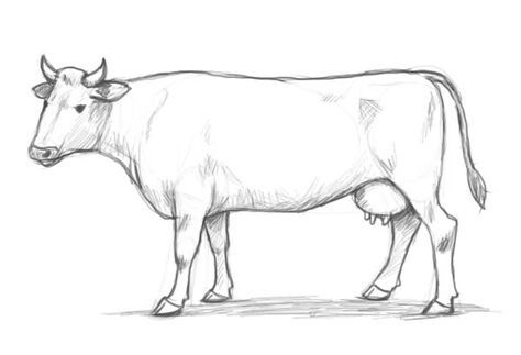 how to draw a realistic cow draw cow muscles drawings realistic draw cow to a how