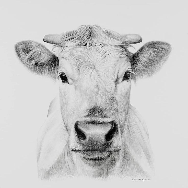 how to draw a realistic cow highland cow ii pencil drawing by candy witcher cow draw how realistic to a