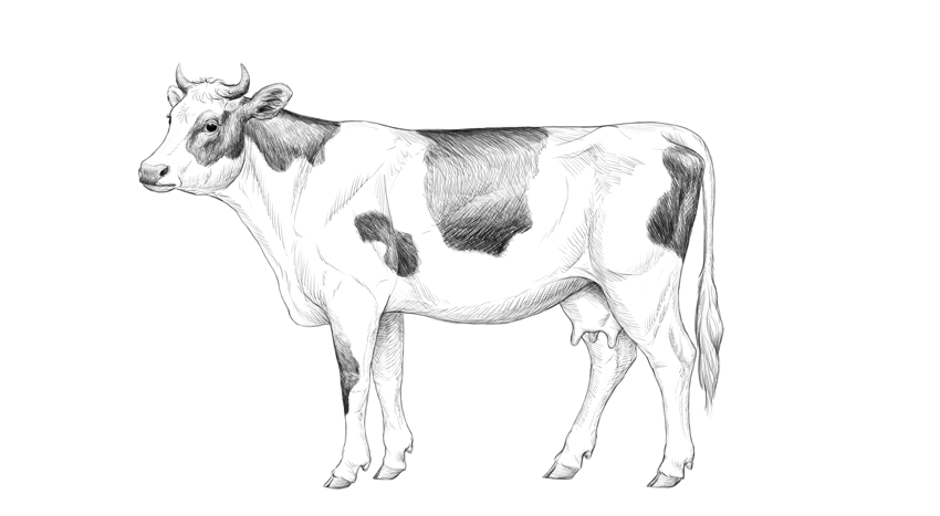 how to draw a realistic cow how to draw a cow step by step cow drawing cow sketch draw realistic cow to a how