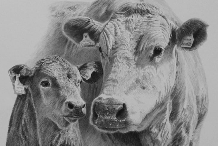 how to draw a realistic cow how to draw a realistic cow to draw how realistic a cow