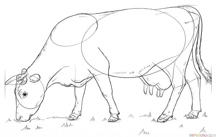 how to draw a realistic cow how to draw cows draw cows draw a cow cow drawing a how cow to realistic draw