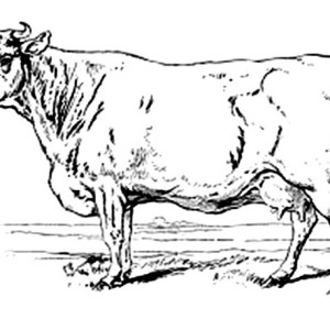 how to draw a realistic cow learn how to draw a cow step by step with this new how draw to cow a realistic