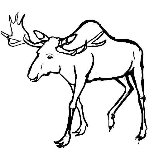 how to draw a realistic moose beautiful how to draw a realistic moose head hd wallpaper draw a realistic how to moose