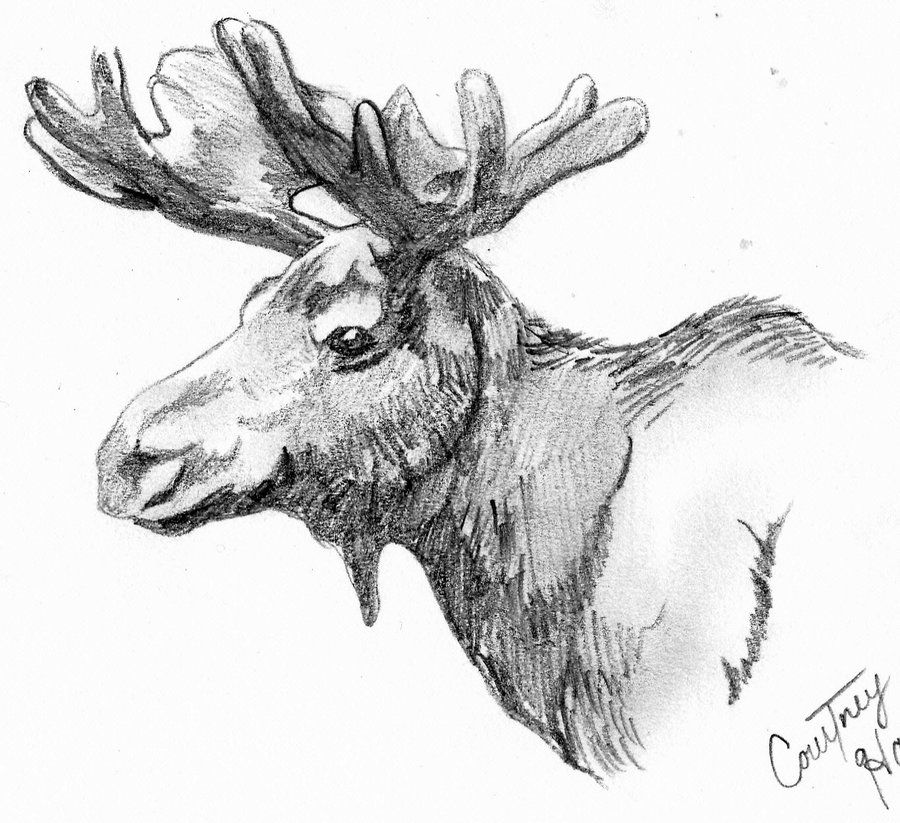 how to draw a realistic moose how to draw a moose step by step a how draw moose to realistic