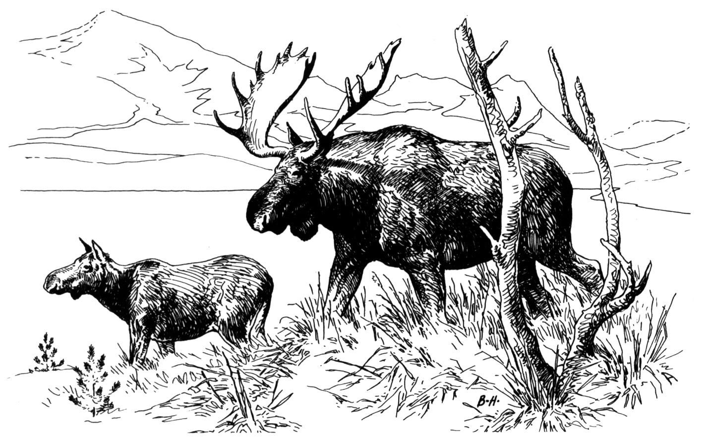 how to draw a realistic moose how to draw a realistic moose to how draw moose a realistic