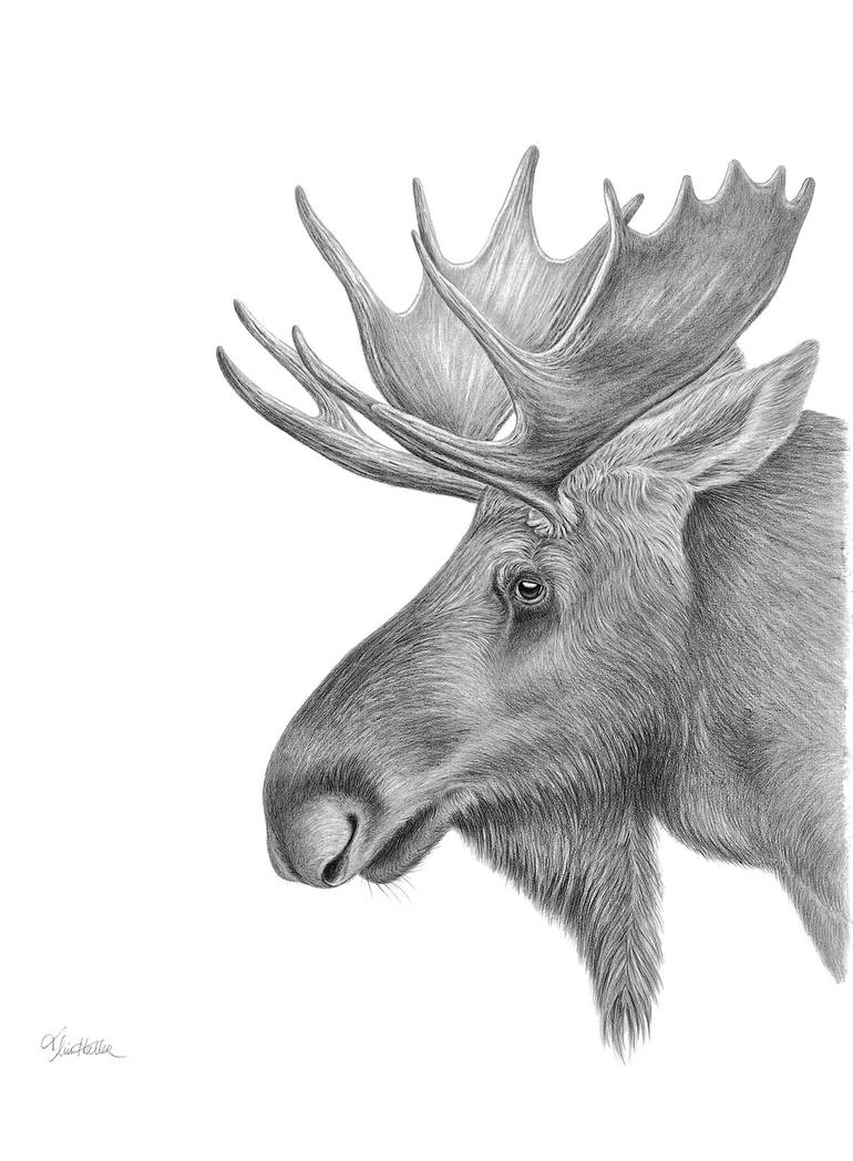 how to draw a realistic moose how to draw cartoon moose realistic moose drawing a moose to realistic how draw