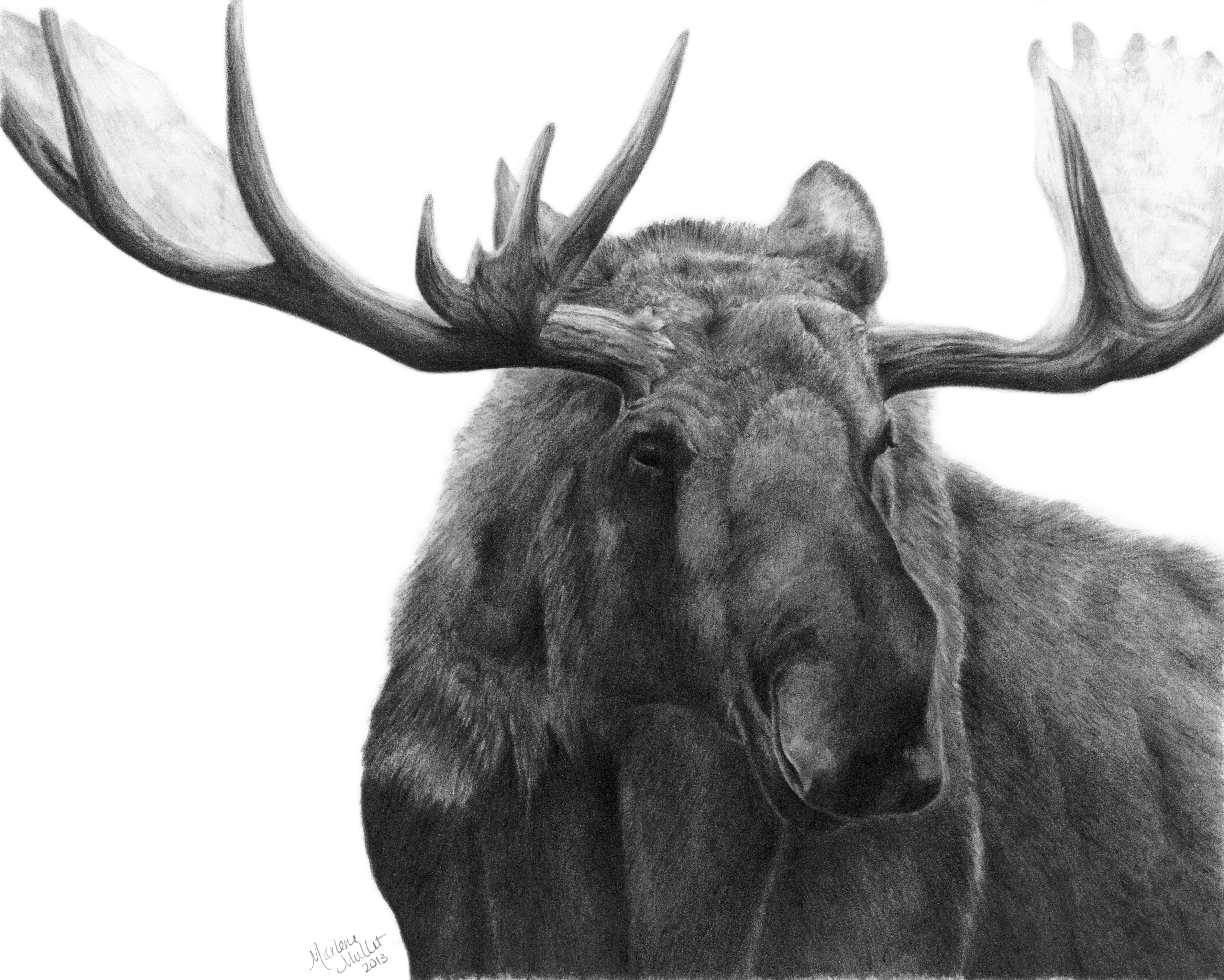how to draw a realistic moose image result for moose drawing to how a draw moose realistic