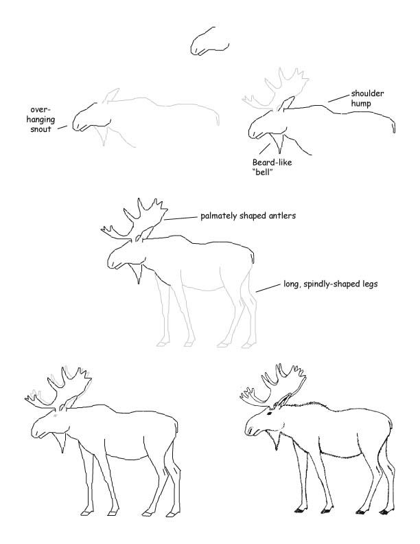 how to draw a realistic moose moose drawings google search a realistic draw how moose to