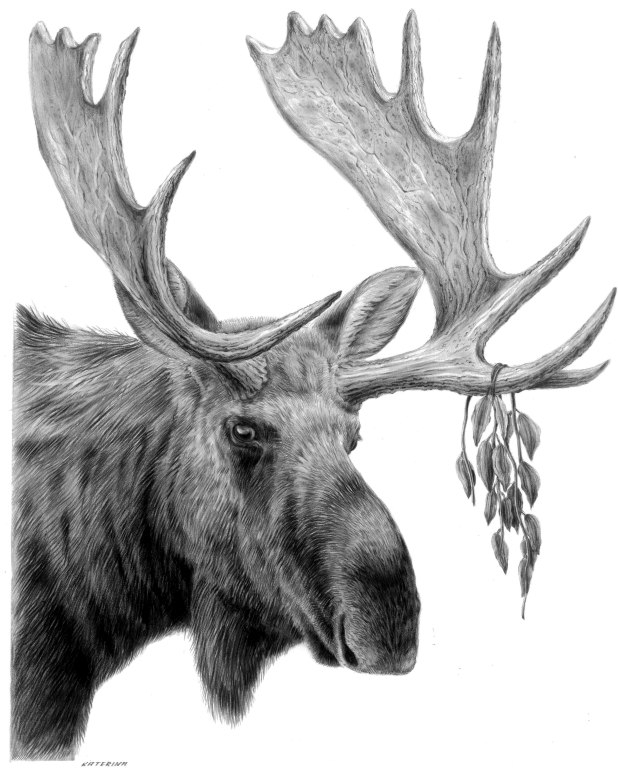 how to draw a realistic moose moose in water drawing by james schultz a to realistic draw how moose