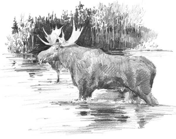how to draw a realistic moose moose line drawing at getdrawings free download a to realistic moose how draw