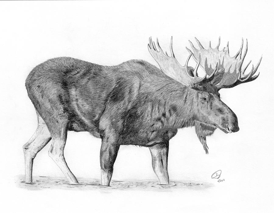 how to draw a realistic moose pin on my drawings a moose how draw realistic to