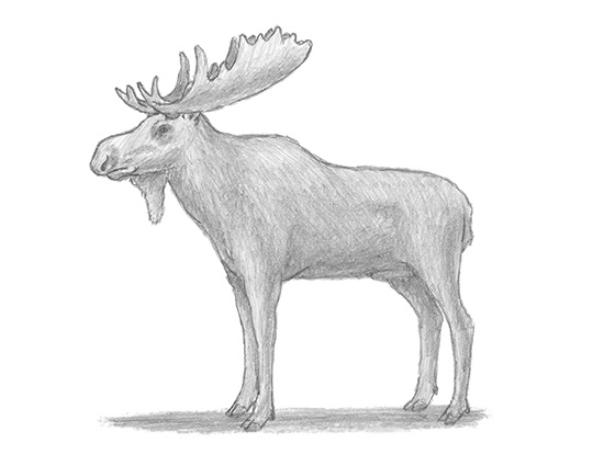 how to draw a realistic moose this is quotmajestic moosequot done in graphite pencil by to moose draw a how realistic