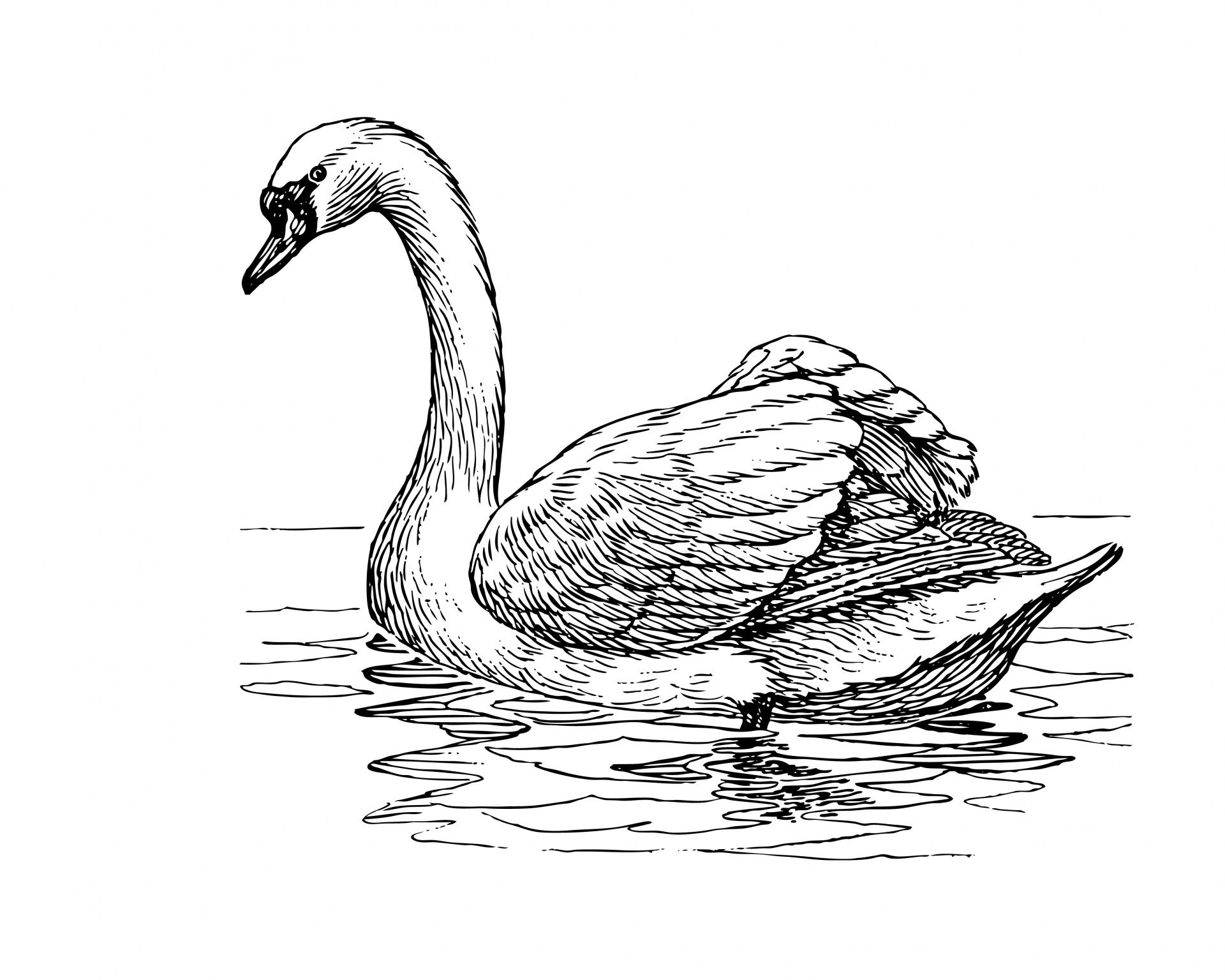 how to draw a swan colours drawing wallpaper beauyiful swan colour drawing swan to how a draw