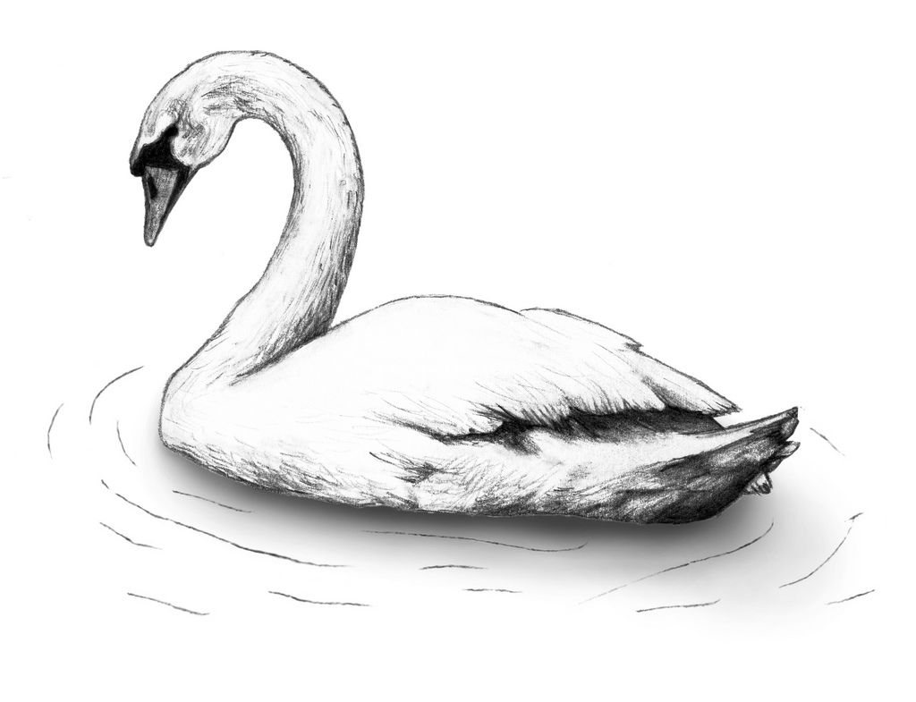 how to draw a swan image result for swan drawing sketch swan pinterest swan a draw how to