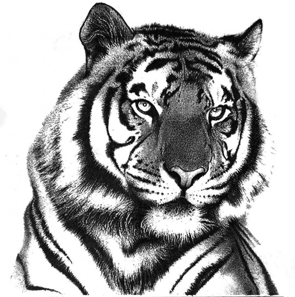 how to draw a tiger drawing pictures of tigers at getdrawings free download tiger how to draw a