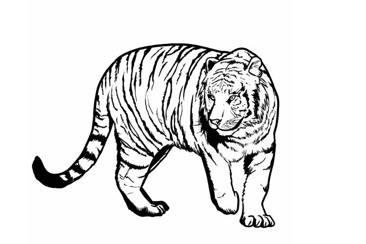 how to draw a tiger how to draw a tiger cub step by step forest animals how a to draw tiger