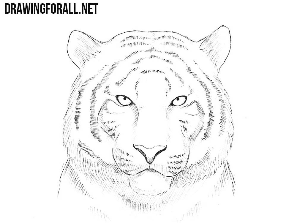 how to draw a tiger learn how to draw a baby tiger step by step drawings for how to a tiger draw