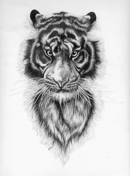 how to draw a tiger line drawing tiger at getdrawings free download to draw tiger a how