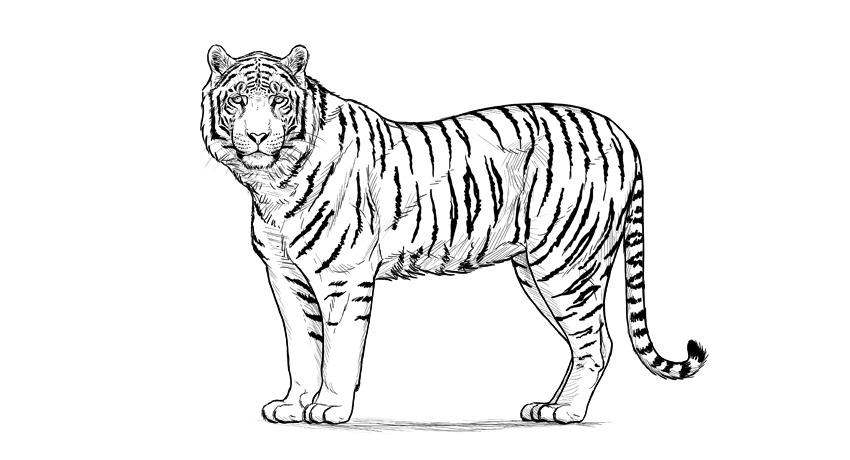 how to draw a tiger pin by savanna williams on art tiger drawing easy tiger a draw to tiger how