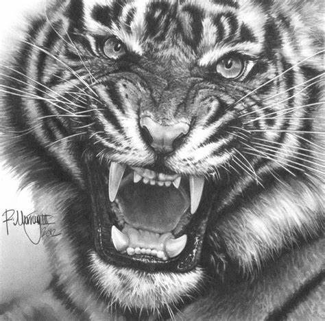 how to draw a tiger siberian tiger drawing belgium hotels 5 star draw to tiger how a