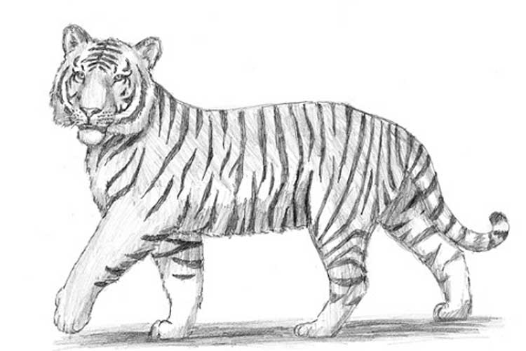 how to draw a tiger tiger drawing for kids at paintingvalleycom explore how to a draw tiger