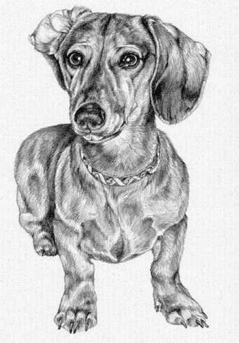 how to draw a wiener dog animal drawings a how to dog wiener draw