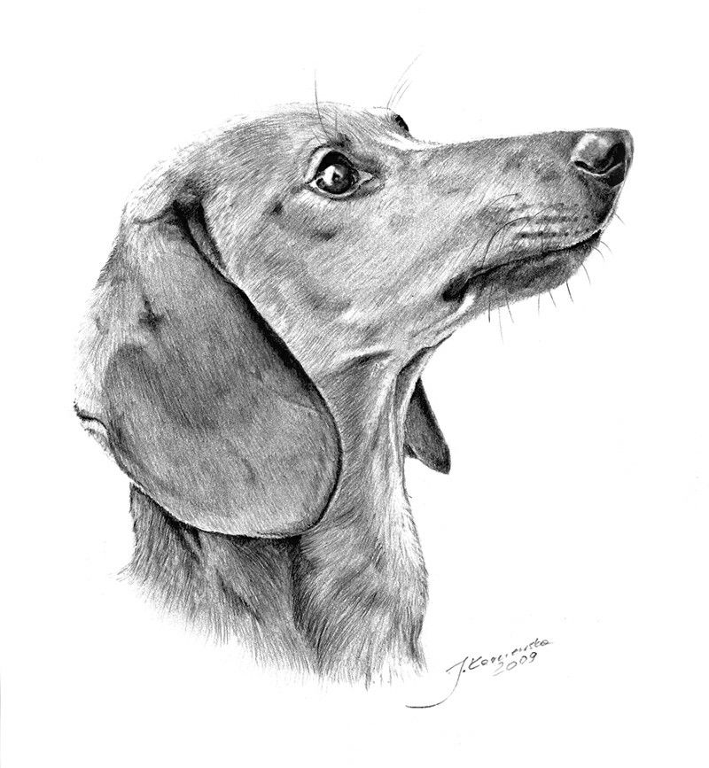 how to draw a wiener dog dachshund paintings dachshund drawing ferris cook a how draw to wiener dog