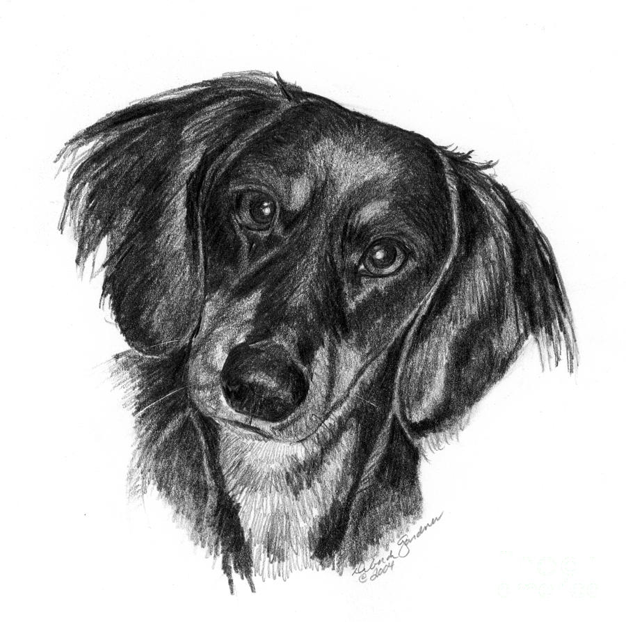 how to draw a wiener dog dogs dachshunds and staffie dachshund illustration how to wiener draw dog a