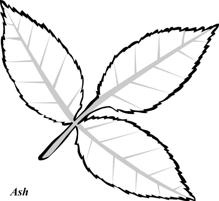 how to draw an oak leaf how to draw an oak leaf leaf oak how an draw to