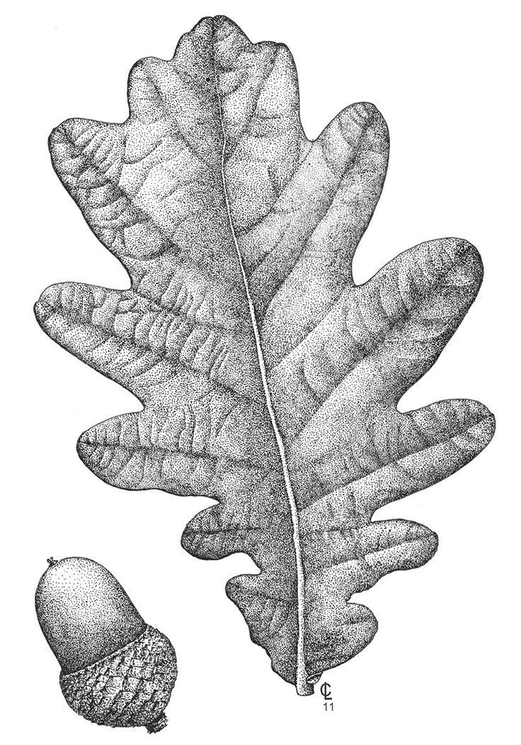 how to draw an oak leaf how to draw oak leaves with step by step drawing lessons how oak an to leaf draw