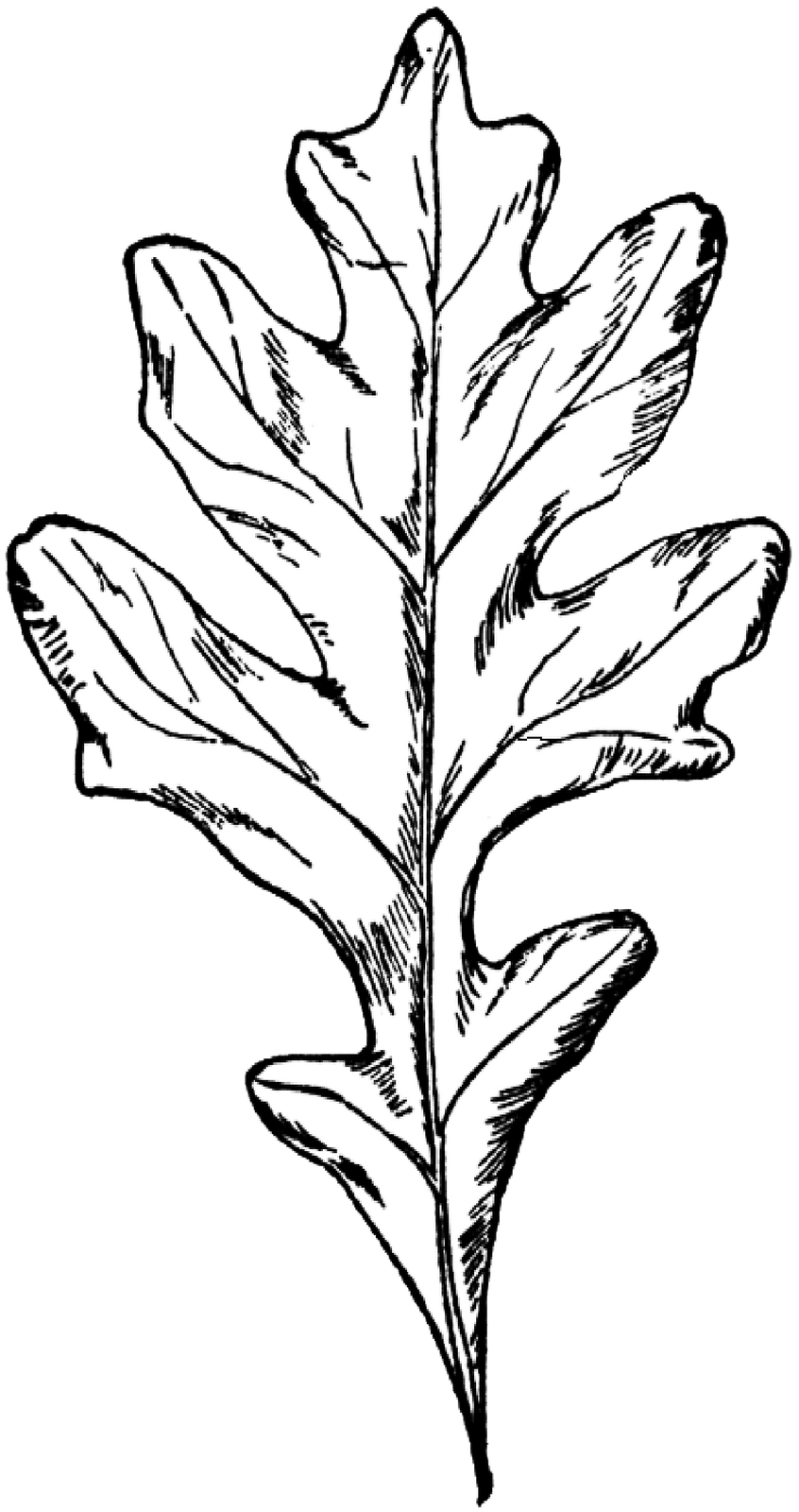 how to draw an oak leaf oak leaves drawing clipart panda free clipart images an draw oak leaf to how