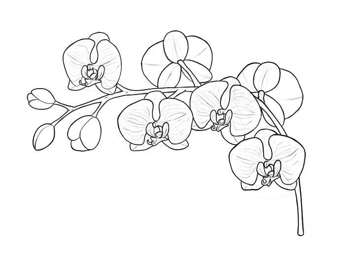 how to draw an orchid flower orig06deviantartnet a05b f 2010 140 4 9 orchidby draw an to orchid flower how