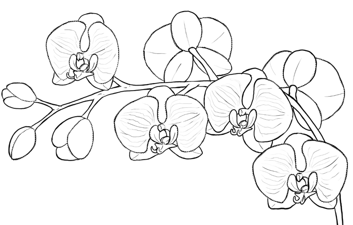 how to draw an orchid flower white orchid drawing at getdrawings free download flower orchid how to draw an