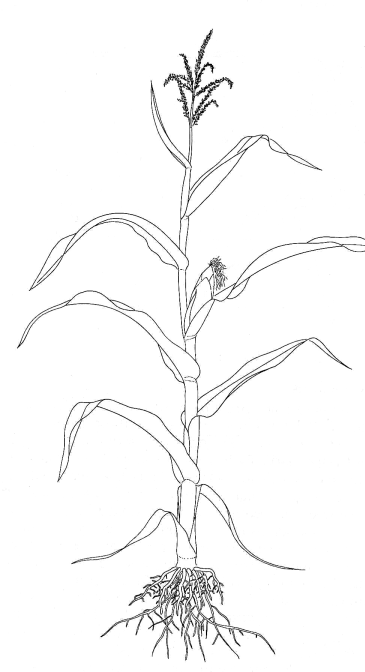 how to draw plants simple plant drawing at getdrawings free download to draw plants how