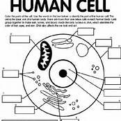 human cell worksheet cell structure and function worksheet chapter 7 cell worksheet human cell