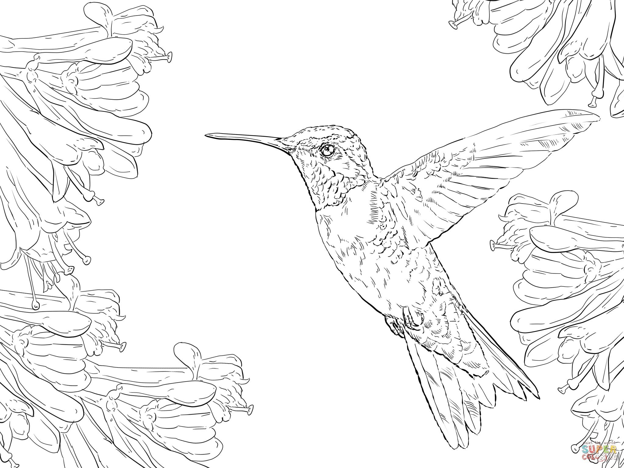 hummingbird coloring pictures free printable pictures of hummingbirds free printable pictures hummingbird coloring