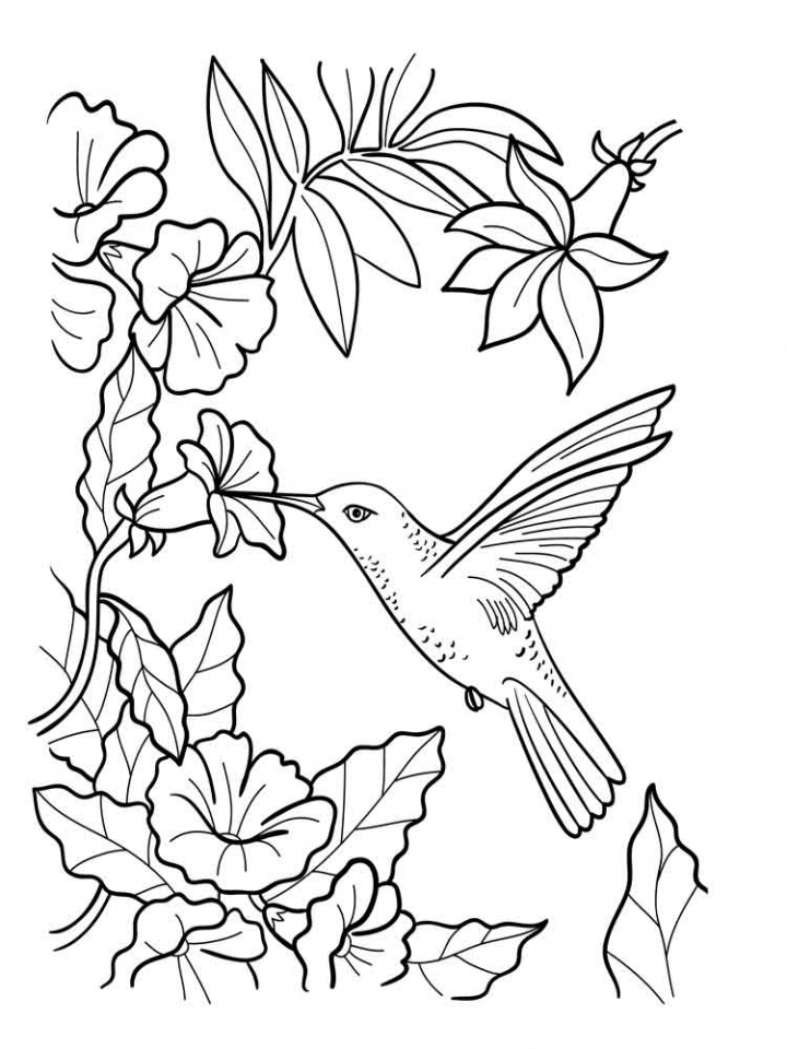 hummingbird pictures to color long tailed sylph hummingbird coloring page to pictures color hummingbird